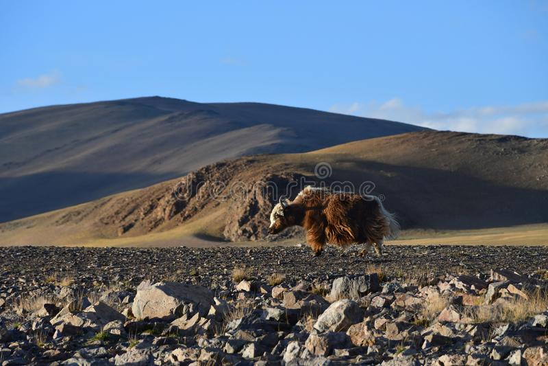 Tibet ocidental Iaques de Brown na costa do lago sagrado Dangra Dang Ra Gyu Tso na noite fotografia de stock