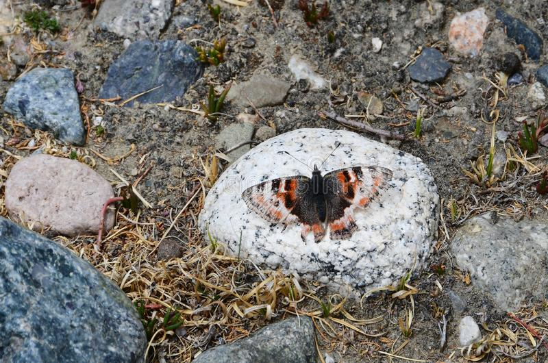 Tibet området av monteringen Kailas Kailash Fjäril på en sten på en höjd av mer än 5000 meter ovanför havsnivå arkivfoton
