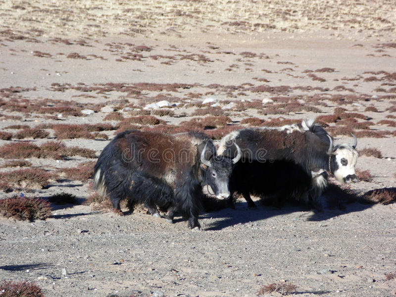 Tibet yaks royalty-vrije stock afbeelding