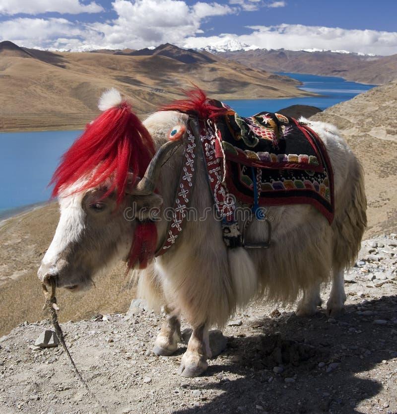 Tibet - Yamdrok Lake - Yak - Tibetan Plateau royalty free stock image