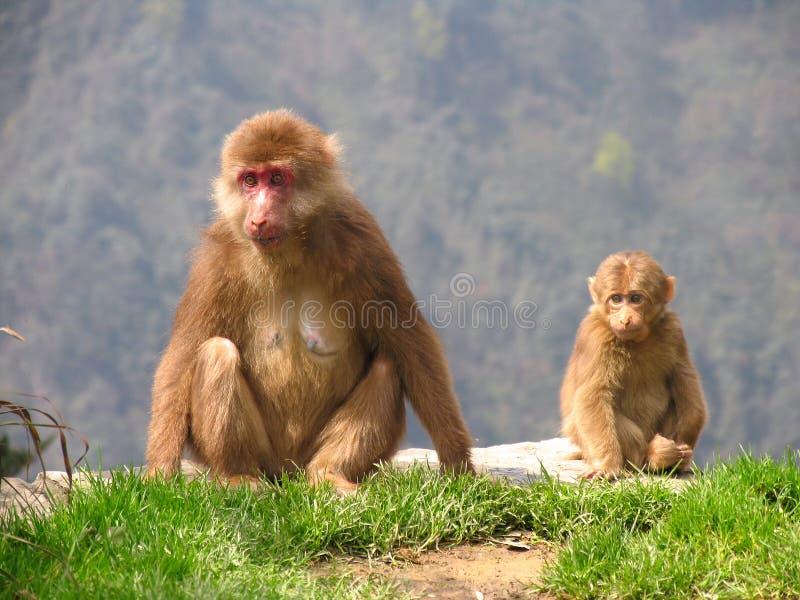 Tibetaanse macaques & x28; Macaca thibetana& x29; in Emei-Bergen, Sichuan stock foto's