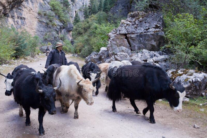 Tibetaanse mensen met zijn yaks royalty-vrije stock foto's