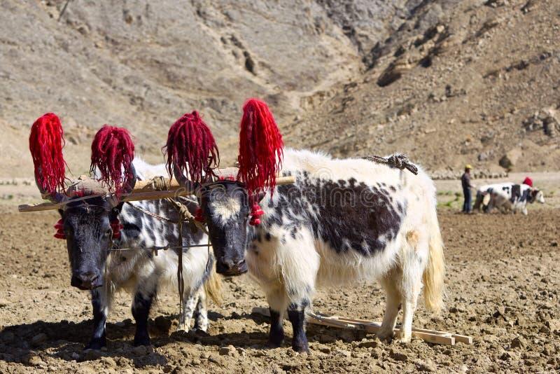 Tibetaanse yaks royalty-vrije stock fotografie