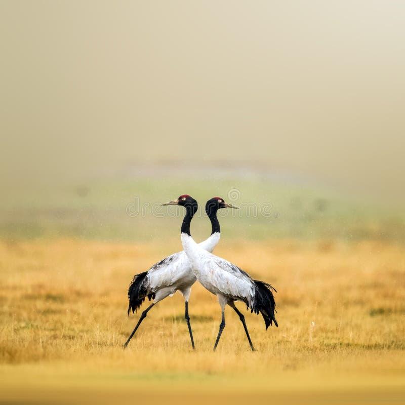 Tibetan Crane. Foraging in the grasslands royalty free illustration