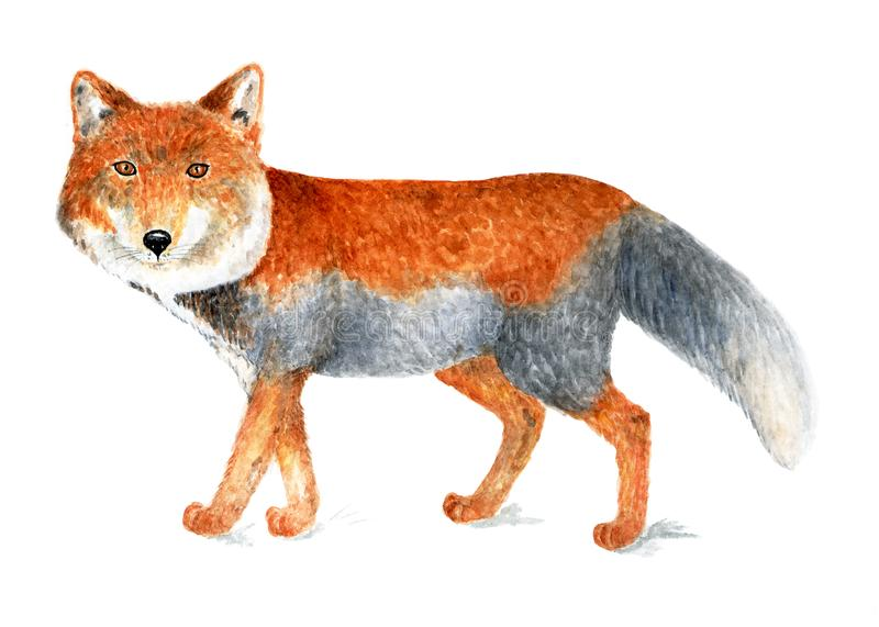 Tibetan fox. Watercolor illustration. royalty free stock images