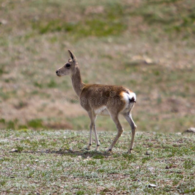Tibetan gazelle royalty-vrije stock foto