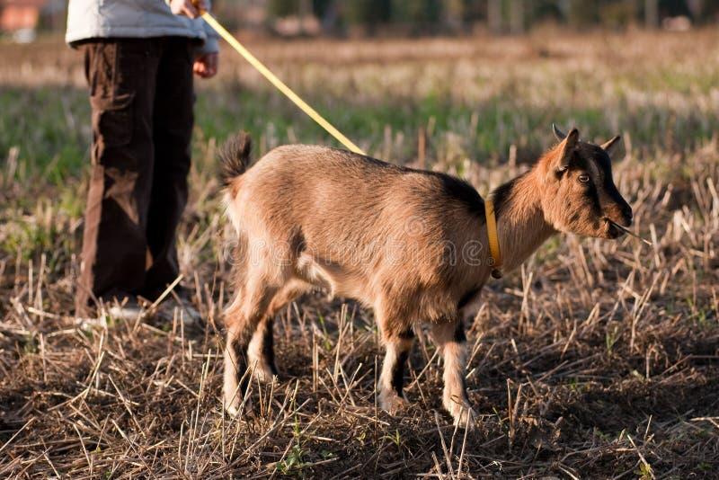 Tibetan goat royalty free stock photo