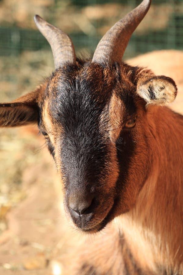 Tibetan Goat royalty free stock images