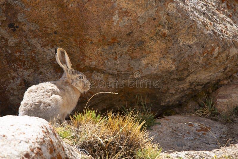 Tibetan Hare, woolly hare , Lepus oiostolus, Jammu and Kashmir, India. Tibetan Hare, woolly hare , Lepus oiostolus, Jammu and Kashmir of India stock photo
