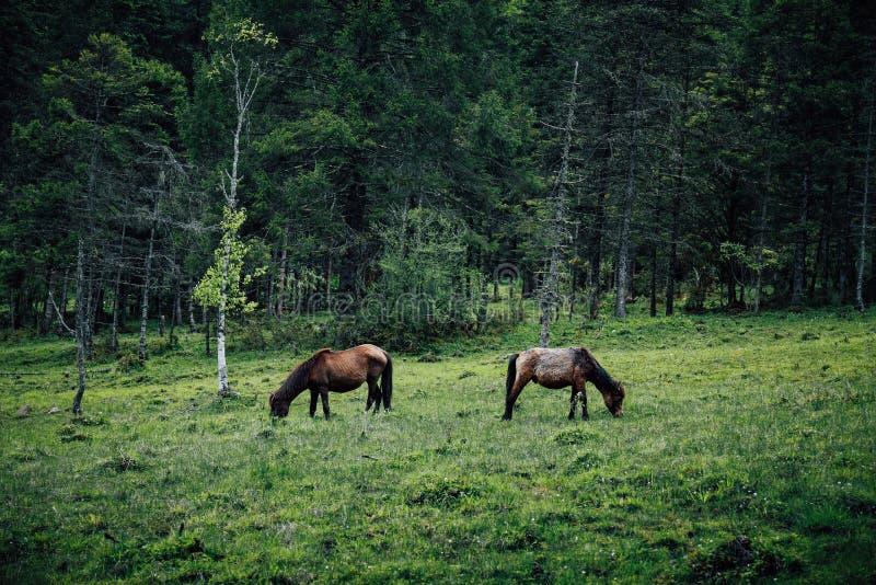 Tibetan horses royalty free stock photography
