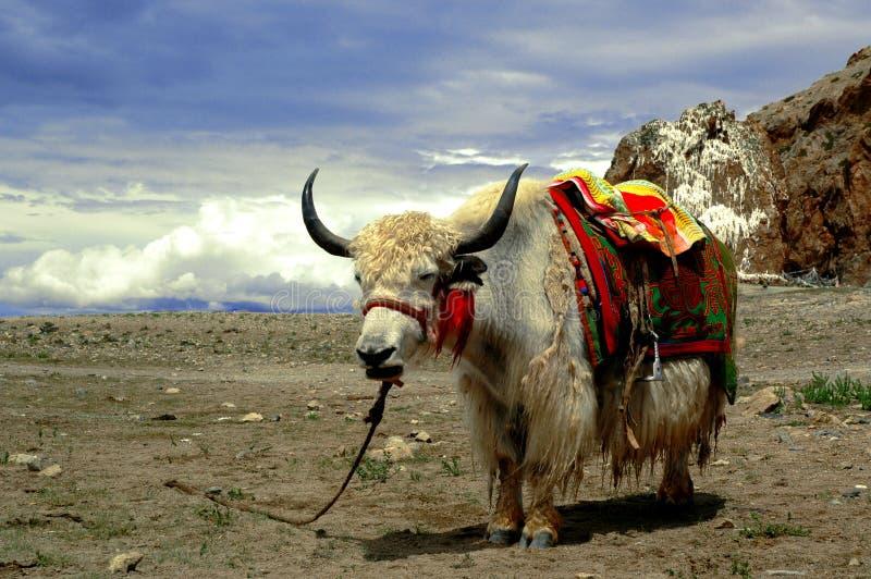 Tibetan Jakken stock foto