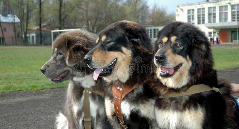 tibetan mastiff royaltyfria bilder