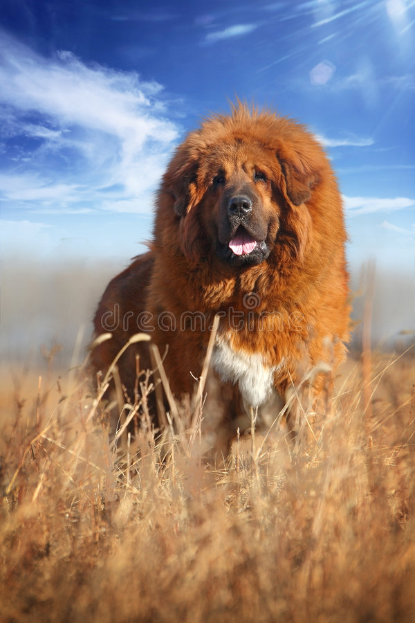 Download Tibetan Mastiff stock image. Image of domestic, terapy - 8378033