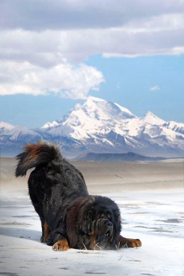 tibetan mastiff royaltyfri bild