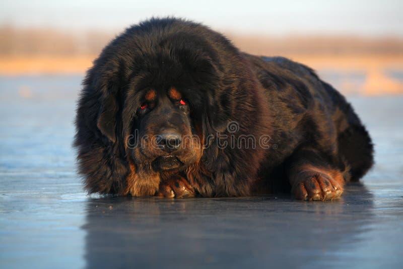 tibetan mastiff royaltyfria foton