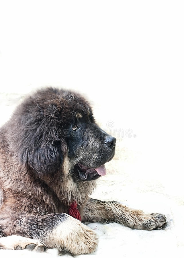 Tibetan mastiff breed puppy on white background close-up look- thinking royalty free stock photography