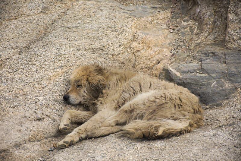 Tibetan Mastiff or Canis lupus familiaris dog sleeping relax on floor in Leh Ladakh village in Jammu and Kashmir, India royalty free stock photography