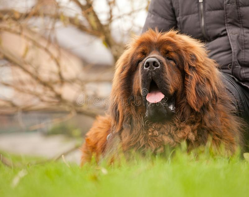 Tibetan Mastiff dog in autumn street Moscow royalty free stock photos