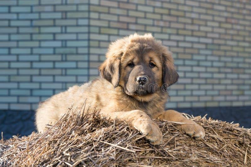 Tibetan mastiff för valpavel arkivfoton