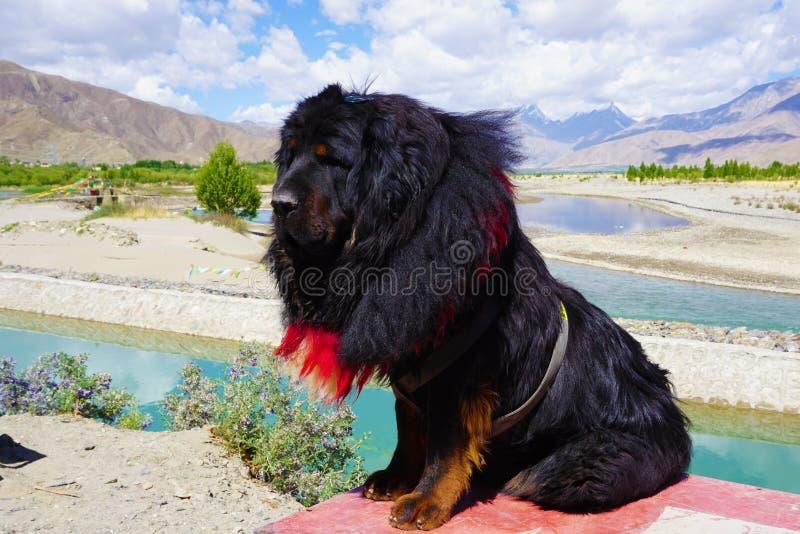 Tibetan mastiff Kina royaltyfria foton