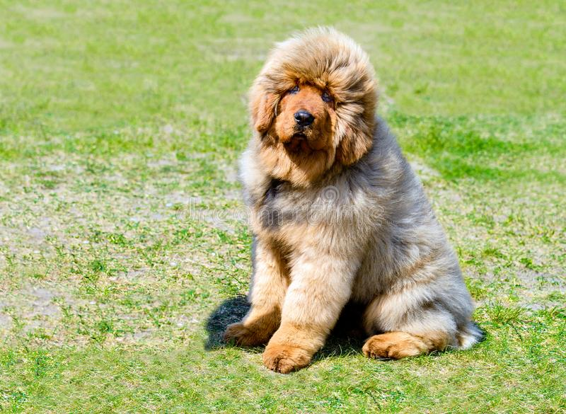 Tibetan Mastiff puppy seats. royalty free stock images