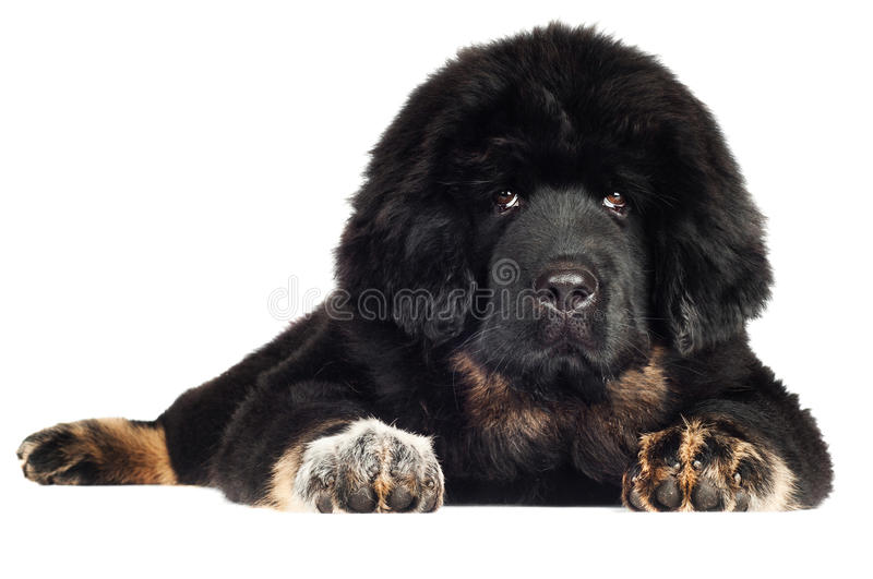 Tibetan mastiff puppy royalty free stock photography