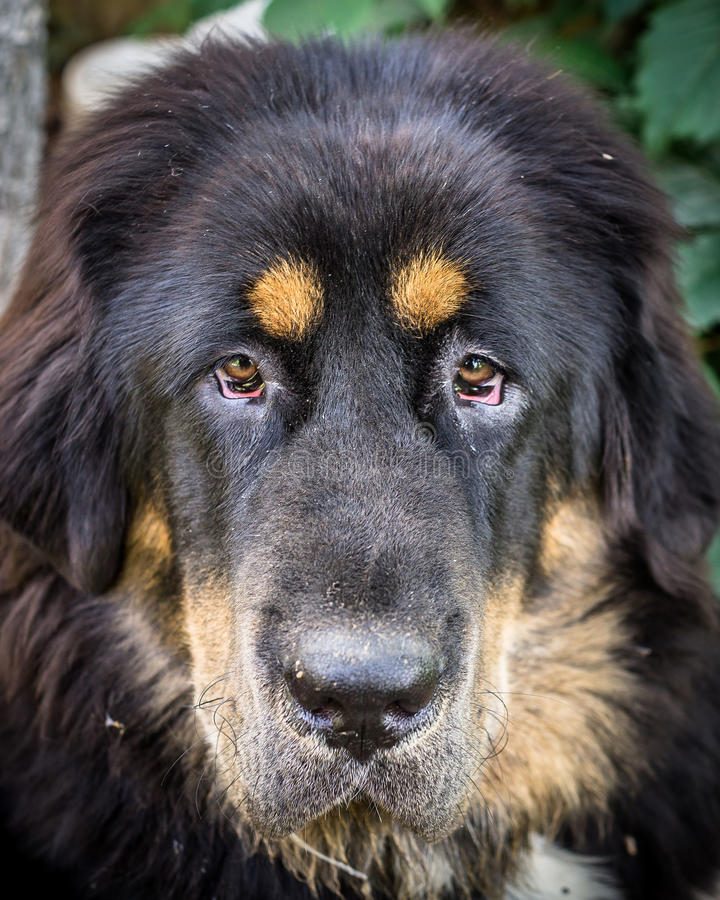 The Tibetan Mastiff puppy. The Tibetan Mastiff is one of the oldest working breeds of dogs that were guard dog in Tibetan monasteries, and helped the nomads in royalty free stock photography