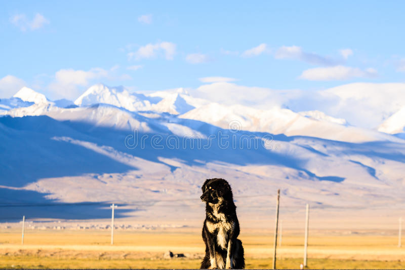 Tibetan mastiff stock photography