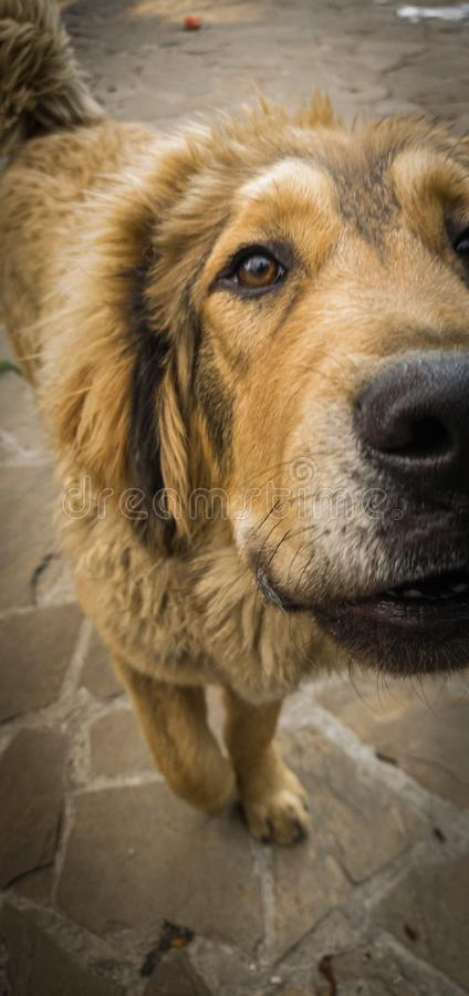 Tibetan Mastiff is talking. Dogs, animal stock photos