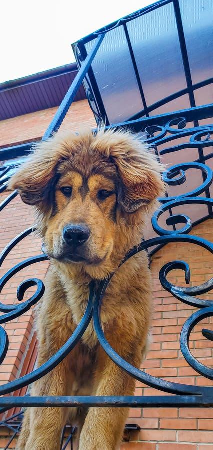 Tibetan Mastiff watches. Dogs, friends royalty free stock image
