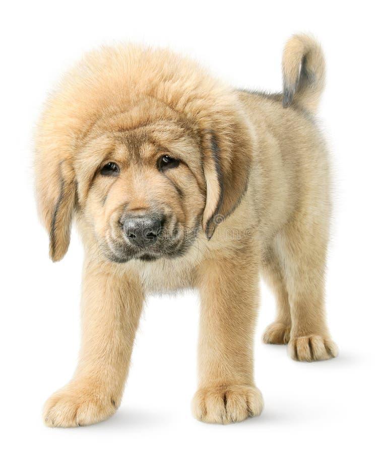 Tibetan mastiffpuppy dat op wit wordt geïsoleerda royalty-vrije stock foto