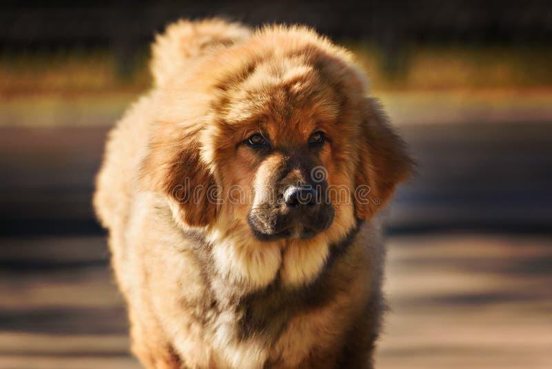 tibetan mastiffvalp royaltyfria foton