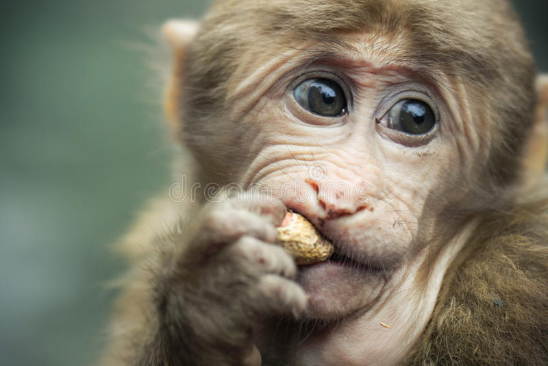 Tibetan monkey. A close shot of a Tibetan monkey in Mt. Emei Natural Ecology Monkey Reserve royalty free stock photography