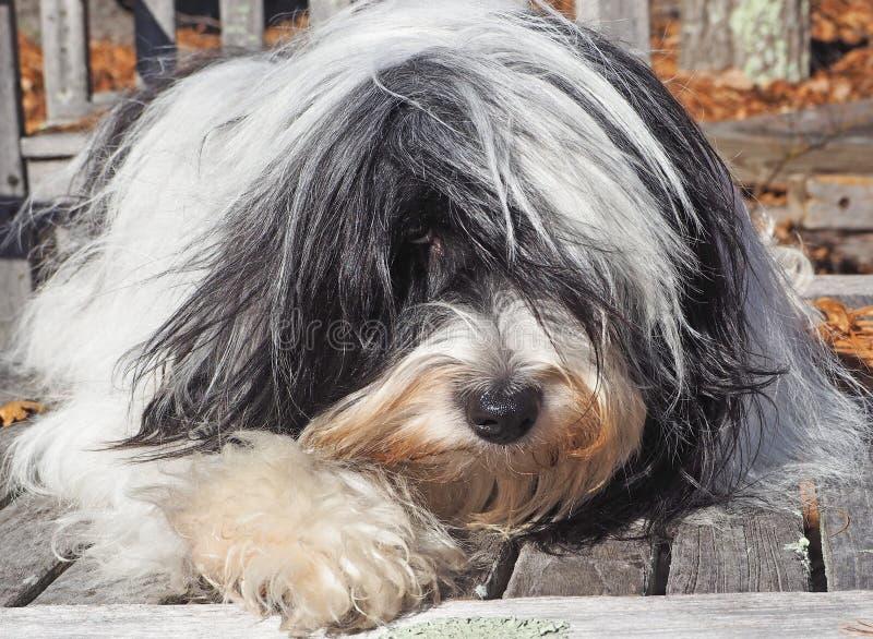Tibetan naturlig Terrier avslappnande yttersida royaltyfri bild