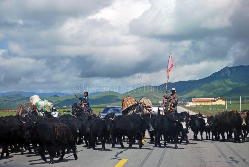 Tibetan people wiht yak royalty free stock photo