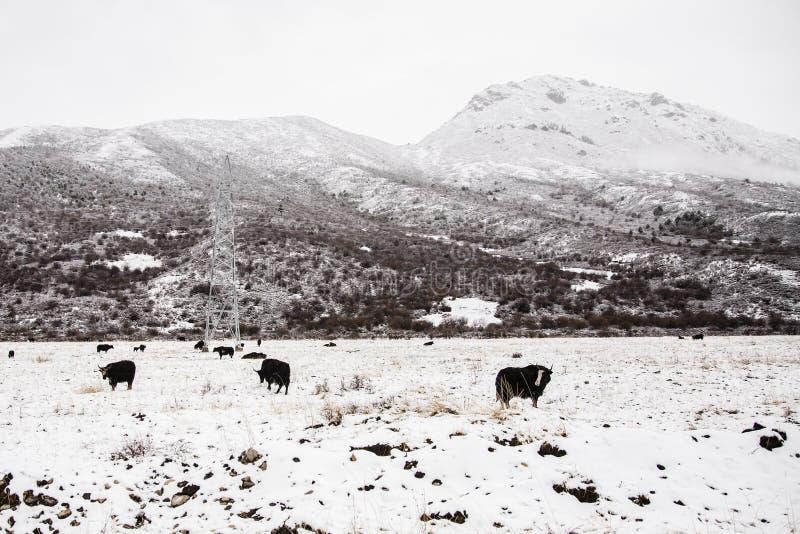 Tibetan Plateau and Herd of Yaks, China stock photo