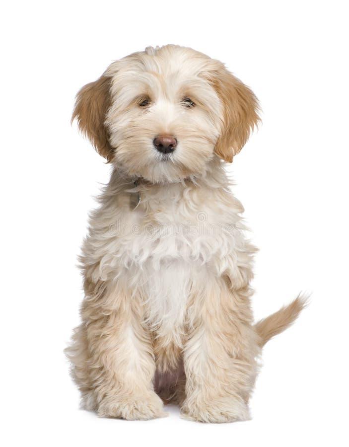 Tibetan puppy van de Terriër (3 maanden) royalty-vrije stock foto's