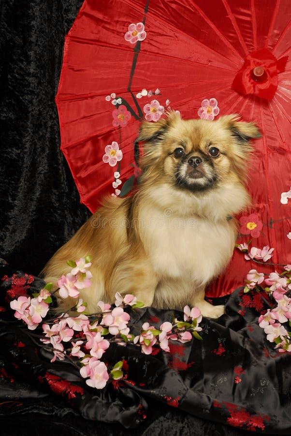 Tibetan Spaniel royalty free stock photos