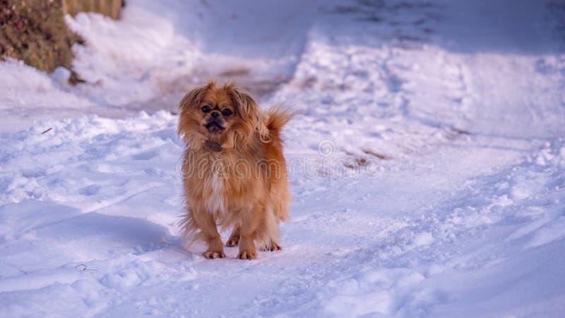 Tibetan spaniel för hund på den snöig vägen royaltyfri fotografi