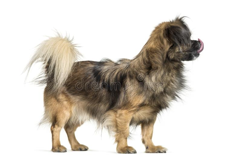 Tibetan spaniel in front of white background stock photography