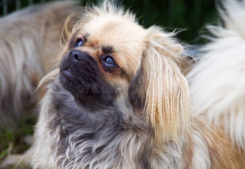 Tibetan Spaniel puppy stock photo