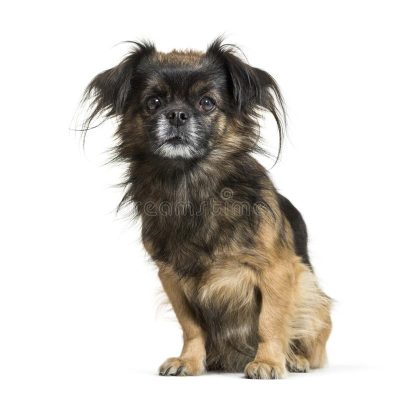 Tibetan spaniel sitting in front of white background stock images
