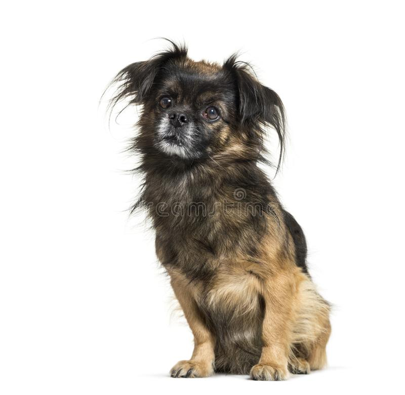Tibetan spaniel sitting in front of white background royalty free stock images