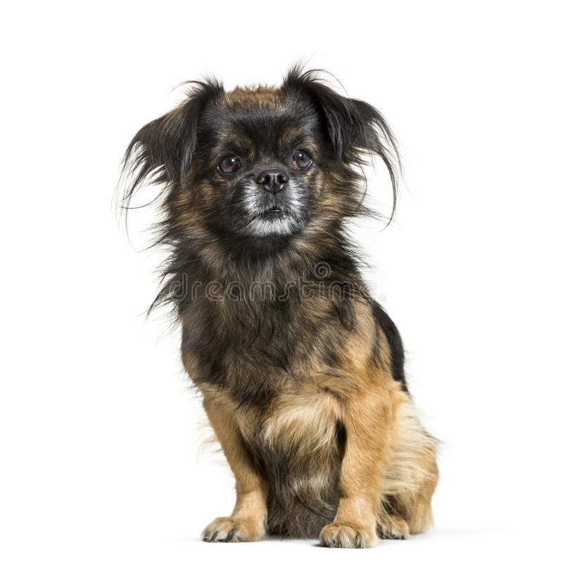 Tibetan spaniel sitting in front of white background stock photography