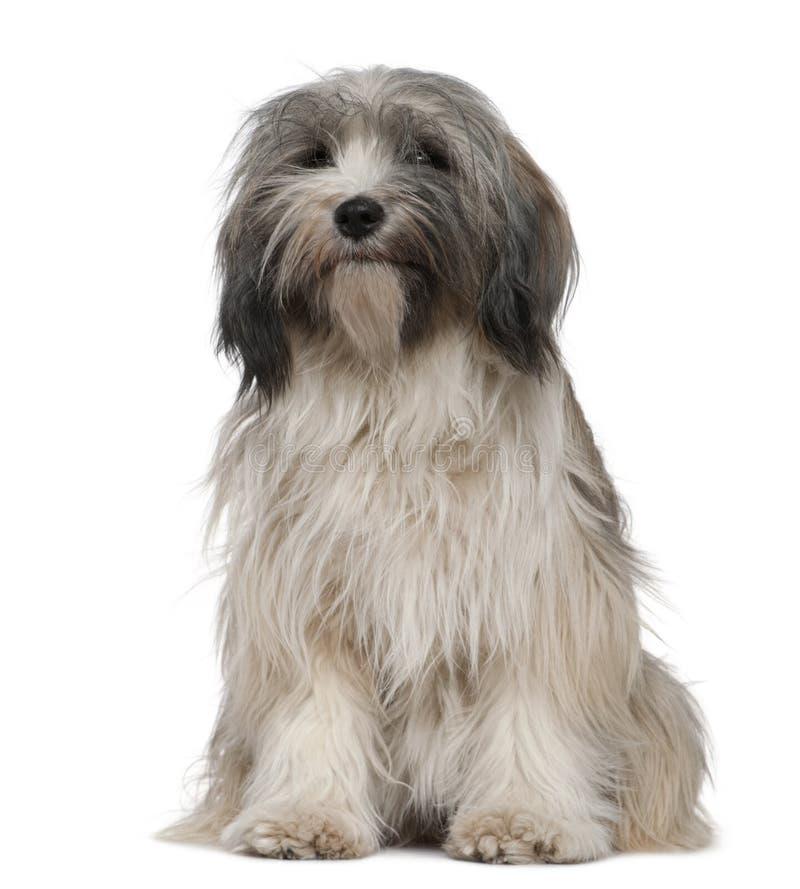 Free Tibetan Terrier, 1 Year Old, Sitting Royalty Free Stock Image - 15360386