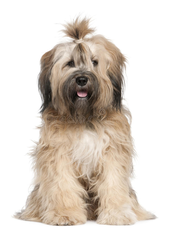 Tibetan Terrier, 1 year old, sitting stock images