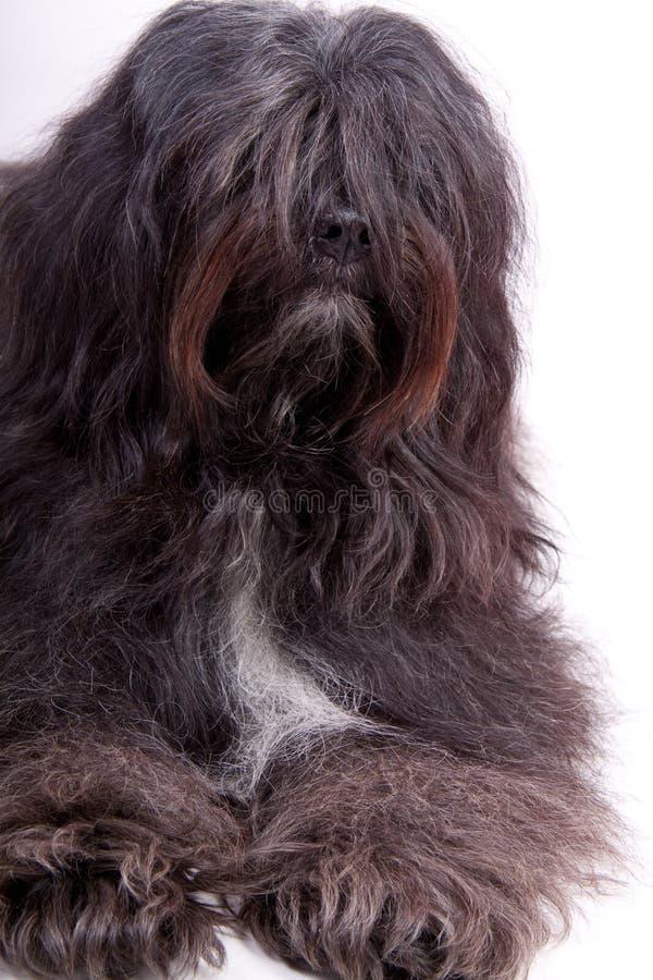 Tibetan terrier stock image