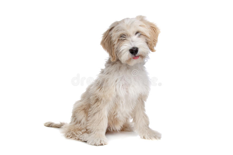 Tibetan Terrier royalty free stock image