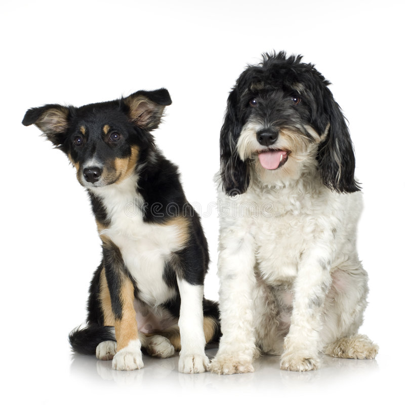 Download Tibetan Terrier (3 Years) And Puppy Border Collie Stock Photo - Image: 3753482