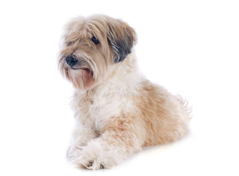 Tibetan terrier royaltyfri bild